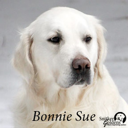 Snitker Goldens, English Cream Golden Retriever, Bonnie Sue