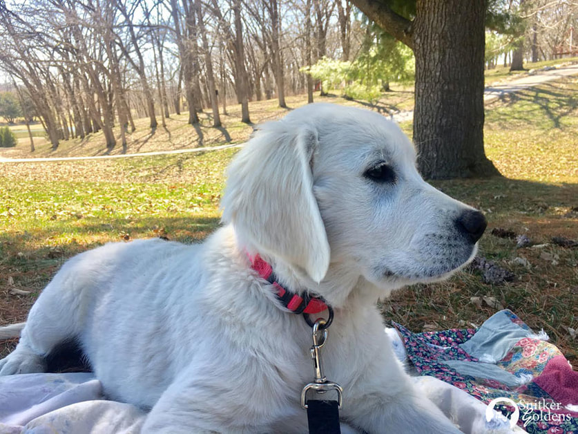 Snitker-Goldens-English-Cream-Golden-Retriever,-Harper5