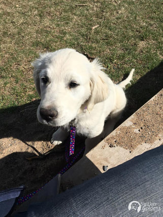 Snitker-Goldens-English-Cream-Golden-Retriever,-Evie