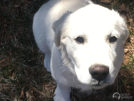 Snitker-Goldens-English-Cream-Golden-Retriever,-Harper4