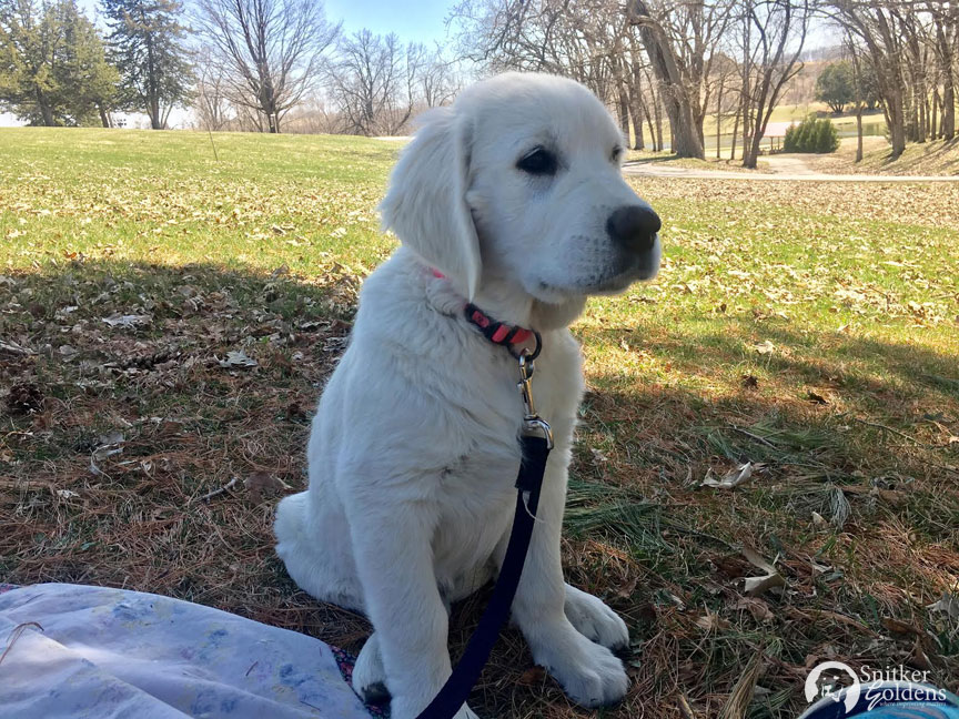 Snitker-Goldens-English-Cream-Golden-Retriever,-Harper6