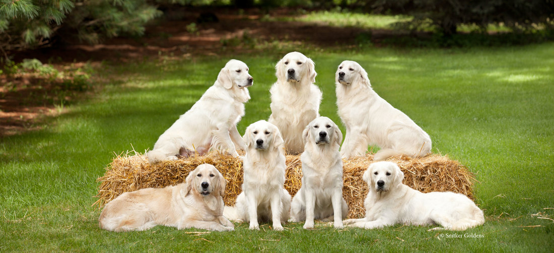Snitker Goldens Trained Golden Retrievers English Cream Golden Retriever Therapy Dogs and Service Dogs