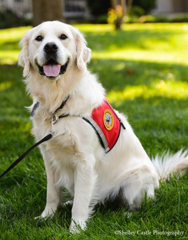 Snitker Golden Retrievers Service Dog Prince Trained Golden Retriever